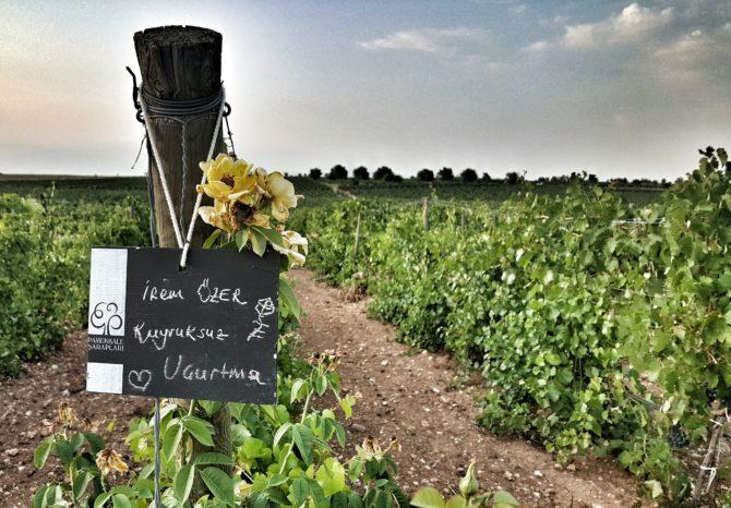 Pamukkale Şarapları ile bağbozumu